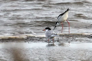 Black-necked Stilt and Common Tern...IMG_8503a