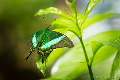 Emerald Swallowtail (Papilio palinurus) (chrisverweyphotography) Tags: canon butterfly emerald swallowtail butterflyworld