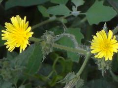 πικραλιδα, ραδικι dandelion DSC02618 (omirou56) Tags: green nature colors yellow outdoor sony natur greece sonydsc χορτα ελλαδα λουλουδια φυση κιτρινο χρωματα πρασινο ελλασ ευρωπη εξοχη αγροσ sonydschx9v dandelionπικραλιδαραδικι