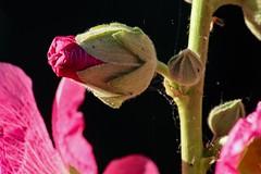 Hollyhock (haberlea) Tags: pink flowers plant green nature garden stem bud mygarden hollyhock onblack