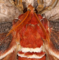 Atlas Moth Close up (Feggy Art) Tags: world flowers plants macro green eye nature up st closeup fruit fly compound wings asia close flat decay south moth down east lepidoptera atlas nectar folded pollen albans antenna decayed decaying attacus chiswell