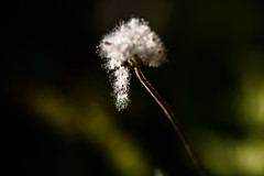 Flowers in light #68 - light beard (lumofisk) Tags: 86mm 0mmf0 nikondf
