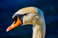 Cigno sul Ticino,Italy (danielerigon1) Tags: hot bird animal ticino sony wife xxx cigno amatorial