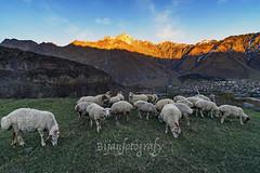 Flock ... (Bijanfotografy) Tags: zeiss georgia nikon sheep mountainside kazbegi flockofsheep zeiss15mm nikond800 zeissdistagon15mm28
