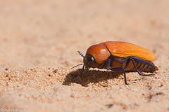 Giant Jewel Beetle (Julodimorpha saundersii) (BenParkhurst) Tags: giant beetle jewel buprestidae julodimorpha bakewelli