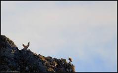Vulture. (anna punx) Tags: yecla burgos parquenatural naturalpark wildlife vulture buitre sky cielo azul blue marron brown ave pajaro bird alas wings fly volar
