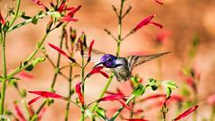 It's A Celebration (vgphotoz) Tags: vgphotoz male hummer nature itsacelebration happynewyear bird flowers colors happy arizona