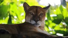 panther wildlife nature honduras roatanhonduras chadsparkesphotography macro macrophotography animal bigcat canoneosrebelt5 15challengeswinner 15 challenges winner