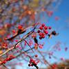 Autumn Berries (HJharland5) Tags: plant outdoor tree depth field blossom foliage red park kirtland ohio autumn fall