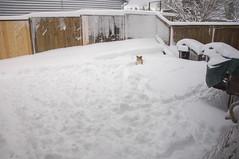 Abby Enjoying the Snow (Richtpt (Rich Uchytil)) Tags: 2017 abby corgi oregon pdx pembrokewelshcorgi portlandor dog snow winter portland unitedstates us