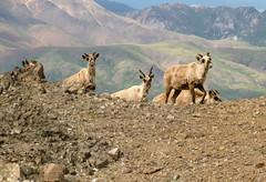 Caribou Spying on Me (jpmckenna - Tenquille Lake Up Next) Tags: alaska denali denalinationalpark landscape unit11 backpacking getoutside mountain unit12 caribou