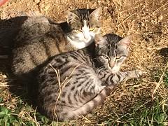 Affettuosamente ..... micini micini  !!!!!! (esterinaeliseo1) Tags: mici animaledomestico gatti