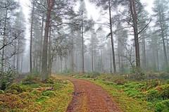 Misty Birnam Wood (eric robb niven) Tags: ericrobbniven scotland dunkeld birnam mist landscape winter trees forest woods
