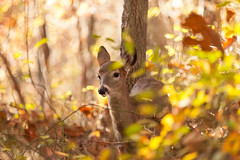 Young Whitetailed Deer Doe (Erin Cadigan Photography) Tags: animal autumn breed brown cute day daylight daytime deer doe fall fawn female forest game graze grazing horizontal mammal natural nature newjersey outdoors outside seasonal species tail tailed together unique white whitetailed whitetaileddeer whitetail wild wilderness wildlife woods young youth