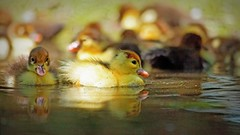IMG_5544 Fluffy yellow swimmers (Rodolfo Frino) Tags: yellow baby wow babies duck bright ave aves pato patos patitos serene water swimming swim swimmer yellowswimmers animales animals animal texture natural littleduck ducky fluffy ducklings fauna naturaleza natur nature eos colours pretty picture colourful colorful