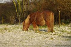 Tervuren.Belgium (Natali Antonovich) Tags: tervuren belgium belgie belgique winter snow frost nature horse animal
