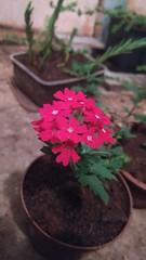 IMG_20161220_010436751 (Rodrigo Ribeiro) Tags: nature natureza flower flor flores garden gardening jardim jardinagem
