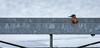 Der Schleusenwärter -Qualvoll sich durch Spalten zwängen,öffnet Tore voller Mut - wie es ein Schleusenwärter eben tut!  Wildlife,Northern Germany Bremen ©Arne Flemke (Cristoforo Colombo) Tags: eisvogel kingfisher bremen blockland