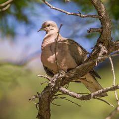 Spordúfa - Eared Dove - Zenaida auriculata (gunnlaugursig) Tags: eareddove