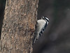Mrs.Woodpecker (brendacyr) Tags: backyardbirds birds smallbirds winter woodpecker