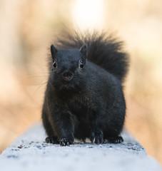 Squirrel-7223 (Geoffrey Shuen Photography) Tags: stanleypark squirrel