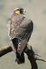 Halcón perdiguero - Aplomado falcon - Falco femoralis (Javier Gross) Tags: avesdechile chile halcon falcon hawk raptors rapaces rapaz raptor wildlife fauna faunadechile avifauna ornithology birdwatching