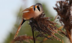 Bearded Tit (Bearded Reedling) 030117  (25) (Richard Collier - Wildlife and Travel Photography) Tags: birds british britishbirds wildlife naturalhistory beardedtit beardedreedling naturethroughthelens