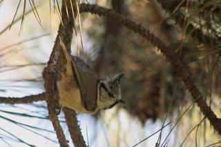 Mésange huppée Parus cristatus Crested Tit