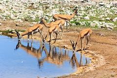 Springbok (Ralph Apeldoorn) Tags: africa etosha etoshanp namibia okaukuejo okaukuejowaterhole southernafrica springbok namibië oshanaregion