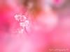 寒櫻 (紅襪熊(・ᴥ・)) Tags: olympus omd em1 m43 micro43 microfourthirds olympusem1 平菁街 陽明山平等里 寒櫻 陽明山 花 flower 春 spring 花季 賞花 sakura 櫻 櫻花 cherryblossoms pink flowers blossom blossoms castle cherry cherryblossom cherryblossomfestival cherrytree cherrytrees garden light macro nature park plant sky travel tree trees white さくら サクラ 桜 花見 賞櫻 日本 japan 粉 粉紅 bokeh sigma 150mm sigma150mmmacro apo f28 sigmaapomacro150mmf28 sigmamacro150mmf28 150mmf28 sigma150mmf28