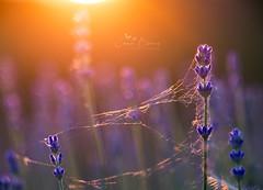 Lavender web (Inspiring Nature Photography) Tags: primotar135mm alternativetrioplan bokehphotography macro lavender spiderweb summer sunset purple gold orange lilac
