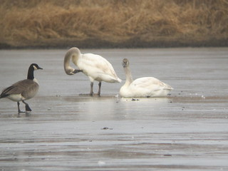 Trumpeter Swans by Russ Allison