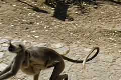 _DSC2455_DxO (Alexandre Dolique) Tags: d810 inde udaipur rajasthan kumbhalgarh fort kumbalgar singe monkey attaque attack india