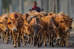 Kedah-Kelantan Cattle Drive, Penarik, Terengganu, Malaysia (Paul B Jones) Tags: cow cows cattledrive penarik terengganu malaysia asia lembu canoneos1dxmarkii ef500mmf4lisiiusm14xiii asian malaisie maleisië 马来西亚 馬來西亞 malasia 말레이시아 マレーシア animals farming kedahkelantan breed variety kedahkelantancow livestock herd ef14xiiiextender