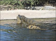 Crocoloco-IZE-261 (Zachi Evenor) Tags: zachievenor israel crocoloco crocolocofarm crocodilefarm crocodiliansfarm crocodile nilecrocodile crocodylusniloticus crocodylus niloticus crocodilia crocodilians haarava riftvalley צחיאבנור ישראל קרוקולוקו חוותקרוקולוקו חוותתנינים חוותתנינאים תניןהיאור תנין היאור תנינים קרוקודיל קרוקודילים תנינאים הערבה 2017 hatzeva 20170221 הזדווגות מזדווגים תניניםמזדווגים mating matingcrocs matingcrocodiles crocs גםתניניםיודעיםלאהוב