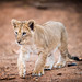 African lion cub (David Whelan Photography) Tags: