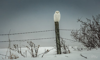 Male Snowy out in the fog and rain