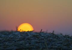 Glow on the hay (Budoka Photography) Tags: sunset serene hayrolls macro dof bokeh canonllens closeup sun twilight