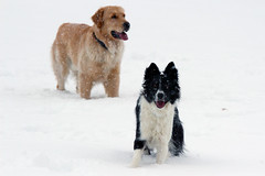 Rombo and a friend (zanin.simone) Tags: dog dogs snow snowy white border collie bc golden retriever smile smiling cute pet pets friend play snowflake snowflakes flakes flake fiocchi di neve bianco nero cane cani chien
