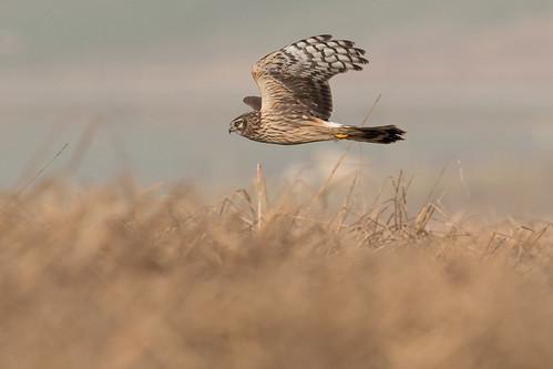 Busard Saint-Martin Circus cyaneus - Hen Harrier