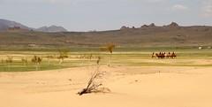 Desert in Mongolia (carfull...home in Mongolia) Tags: mongolia mongol camel bactrian sand desert gobi
