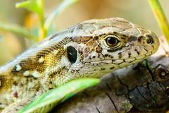 Sand Lizard (a3aanw) Tags: boomkikker hylaarborea nikkor105mmf28gvrmicro eupeantreefrog