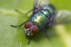 Green Bottle Fly (Lucilia sericata) Macro (mathewfern) Tags: macromarvels