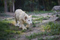 Zulu ou Namahadi - Lionceau blanc (jordanc_pictures) Tags: animal animals zoo lion whitelion lionceaux zoodamnéville lionblanc whitecubs lionceauxblancs