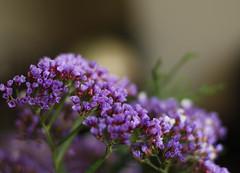 sempre vivas, para sempre (Martha MGR) Tags: flowers flores dof bokeh indoor bouquet delicate blueflower lilas sempreviva marthamgr marthamgraymundo