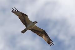 AE9G0319 (onegreatcity55) Tags: canada nature canon wildlife manitoba gimli assiniboinepark oakhammockmarsh lakewinnipeg ftwhyte