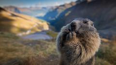 Marmot (Explored!) (Bastian.K) Tags: macro mammal austria österreich cabin nikon hütte marmot 20mm alpen makro nahaufnahme afs d800 mittersill murmeltier tauern 18g grosglockner