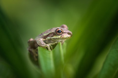 Tree Frog in Tropical Gulf Acres, Florida (diana_robinson) Tags: macro green closeup florida frog tropical fl treefrog macrophotography tropicalgulfacres