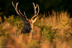 Stag at dawn (andrewswinbank) Tags: autumn light red fall animals sunrise season mammal outdoors dawn october stag deer antlers bracken cervus elaphus