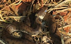 Grass Snake- Natrix natrix- in woods near Wool Dorset 270915 (4) (ailognom2005) Tags: wildlife britishwildlife reptiles grasssnake natrixnatrix wooldorset